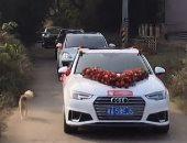 """الفراق صعب.. كلب يجرى 10 كيلو بجانب سيارة زفاف صاحبته """"فيديو"""""""