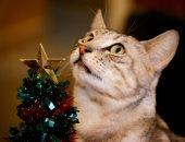 الرقة قطة جميلة لابسة فيونكة وببيونة.. بابا نويل يحتفل بأعياد الميلاد فى مقهى القطط