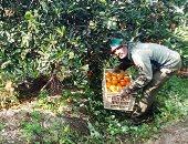 """""""ياللى زرعتوا البرتقال يلا اجمعوه آن الأوان"""".. انطلاق موسم حصاد البرتقال بمزارع القليوبية.. ألبوم صور"""
