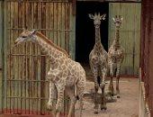 رئيس حدائق الحيوان: حصلنا على الزرافات الجديدة مقابل بغبغانات نادرة وبجع أبيض