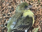 تقرير يكشف آثار حرائق الغابات على موت آلاف الطيور