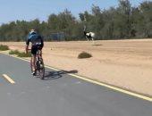 فى لقطة طريفة.. نعامتان تسابقان ولى عهد دبى بينما يقود دراجته الهوائية
