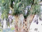 سيدة تربط ابنها المعاق في شجرة لعدة سنوات خوفًا عليه.. زوجها طلقها لإنجابها طفل معاق.. الأم تذهب للعمل باليومية وتربط ضناها حتى لا يهرب منها أو يؤذي نفسه.. والأهالي: تكافح من أجل رعاية نجلها.. فيديو وصور