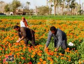 رائحة الأمل فى جناين النباتات العطرية بالفيوم.. والتصدير لكل العالم