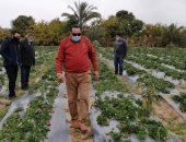 لأول مرة فى دمياط.. نجاح تجربة زراعة الفراولة بالتنقيط