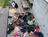 قط يسرق أحذية الجيران.. تعرف على رد فعل مالكته بعد اكتشاف المسروقات.. صور