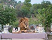 """زوار حديقة بجنوب إفريقيا يفاجأون بـ""""أسد"""" يشاركهم مائدة الطعام.. صور"""