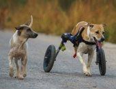 الرجل الذي ينقذ الكلاب.. دار في تايلاند ترعى الحيوانات الضالة والمعاقة .. ألبوم صور