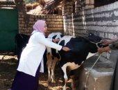 تحصين 115 ألف و634 رأس ماشية ضد الحمى القلاعية والوادى المتصدع بالشرقية