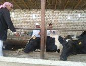تحصين 155 الف رأس ماشية ضد مرض الحمى القلاعية وحمى الوادى المتصدع بالإسكندرية