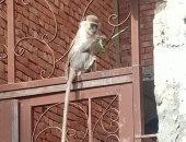 القرد الهارب يعود للظهور بمدينة السلام فى السويس .. صور