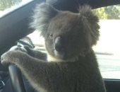 """""""كوالا"""" يتسبب فى أزمة مرورية كبيرة فى طريق سريع بأستراليا.. اعرف التفاصيل"""
