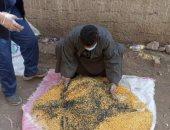 زراعة الشرقية تطلق حملة مكافحة القوارض للحفاظ على محصول القمح.. صور