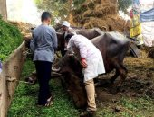 تحصين 123 ألفا و854 رأس ماشية ضد الحمى القلاعية بالشرقية
