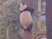 باندا صغيرة تلهو وسط الغابات وتتسلق الأشجار أفضل من القرود.. فيديو