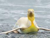 مصور بلجيكى يلتقط صورا مذهلة لـ بطريق أصفر فريد من نوعه جنوب المحيط الأطلسى