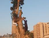 عبد المهمين صاحب الـ 68 عاما يتسلق الأشجار في المنيا.. صور وفيديو