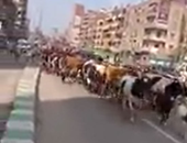 مرور الشرقية عن أزمة قطيع الأبقار: أنقذنا شوارع المدينة من الهرج والمرج