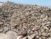 بدء حصاد محصول بنجر السكر بالقنطرة شرق فى الإسماعيلية بإجمالى 1770 فدانا