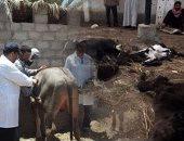 """تحصين أكثر من 2 مليون رأس ماشية ضد الحمى القلاعية و""""الوادى المتصدع"""""""