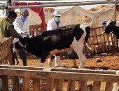 بيطرى الشرقية يحصن 393 ألف و258 رأس ماشية من الحمى القلاعية