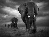 """100 صورة عالمية.. """"هجرة"""" رحلة الأفيال بحثا عن استمرار الحياة"""