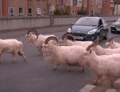 مدينة بريطانية تتحول إلى ملجأ لتنزه الماعز في الشوارع بسبب كورونا.. فيديو