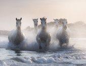 """100 صورة عالمية.. """"الخيول"""" كانت فى البدء كالناس برّية تتراكض"""