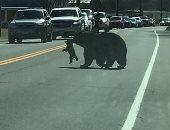 إيقاف الطريق لمرور دبة وأبنائها فى ولاية كونيتيكت الأمريكية.. فيديو وصور