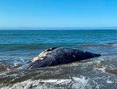 4 حيتان نافقة على سواحل خليج سان فرانسيسكو تثير القلق.. اعرف التفاصيل