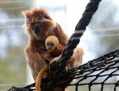 """القرد فى عيد أمه.. ولادة قرد من فصيلة """"الجافان """" النادرة جدا فى حديقة حيوان القدس"""