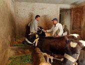 تحصين 76671 رأسا فى حملة للتطعيم ضد مرض الجلد العقدى للأبقار بالدقهلية