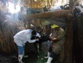 تحصين 163 ألف رأس ماشية ضد الجلد العقدى وجدرى الأغنام فى المنوفية