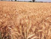 وزارة التموين تعلن استئناف استلام القمح المحلى من المزارعين بداية من الغد