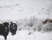 هطول مفاجئ.. تساقط الثلوج يفسد جمال الربيع فى جبال التبت بالصين ..ألبوم صور