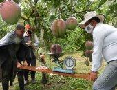أكبر ثمرة مانجو فى العالم تدخل موسوعة جينيس بوزن 4.25 كيلو جرام.. صور