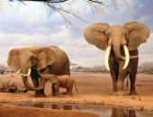 الأفيال تغادر الطبيعة.. شبح الانقراض يطارد أفيال ساحل العاج