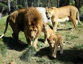 كورونا تنهش الأسد.. حدائق حيوانات الهند تعلن إصابة 8 أسود بكوفيد 19