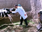 تحصين 82 ألفا و700 رأس فى الحملة القومية لتحصين الثروة الحيوانية من القلاعية ببنى سويف