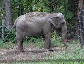 لأول مرة في تاريخ محاكم أمريكا.. رفع قضية نيابة عن فيل لحصوله على الحرية الجسدية