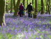 الأزرق يليق بك.. الغابات الزرقاء تزين أوروبا فى فصل الربيع..ألبوم صور