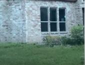 المكان بقى أمان.. شرطة تكساس تعثر على نمر شارد فى شوارع منطقة سكنية.. فيديو