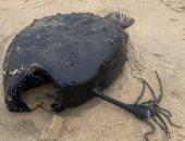 """""""الشيطان الأسود"""".. اكتشاف سمكة غريبة نافقة على شاطئ مدينة أمريكية.. صور"""