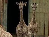 """""""شهد وفرحة"""" أصغر زرافتين فى حديقة الحيوان تفتقدان الزوار فى العيد.. لايف"""