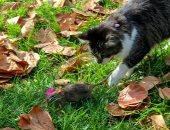 حرب شيكاغو... إطلاق سراح 1000 قطة برية لمواجهة غزو الفئران ..ألبوم صور