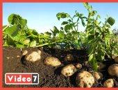 موسم حصاد الأكلة الشعبية الأولى عالميا.. البطاطس بتطلع من الأرض شايله الخير
