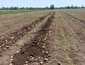 خيرك يا بلدنا.. فرحة الفلاحين بحصاد محصول البطاطس فى المنوفية.. لايف وصور