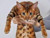الغالى ثمنة فيه.. أغلى سلالات القطط الأليفة فى العالم..ألبوم صور