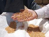 السنابل الذهبية تتربع عرش الصدارة بمحافظة الشرقية وتوريد 620 ألف طن من القمح
