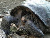 العثور على سلحفاة عملاقة يُعتقد أنها انقرضت منذ 100 عاما فى الإكوادور